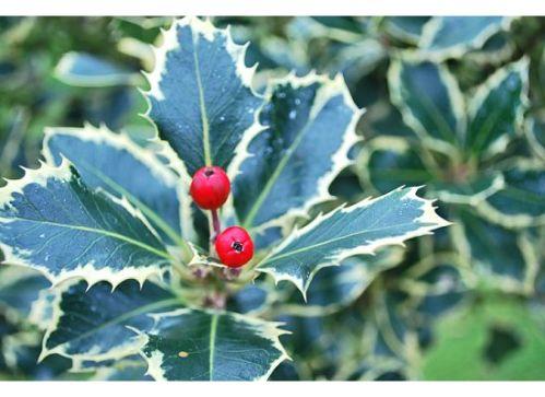 Holly, berries, Xmas, Christmas, traditional Xmas leaves